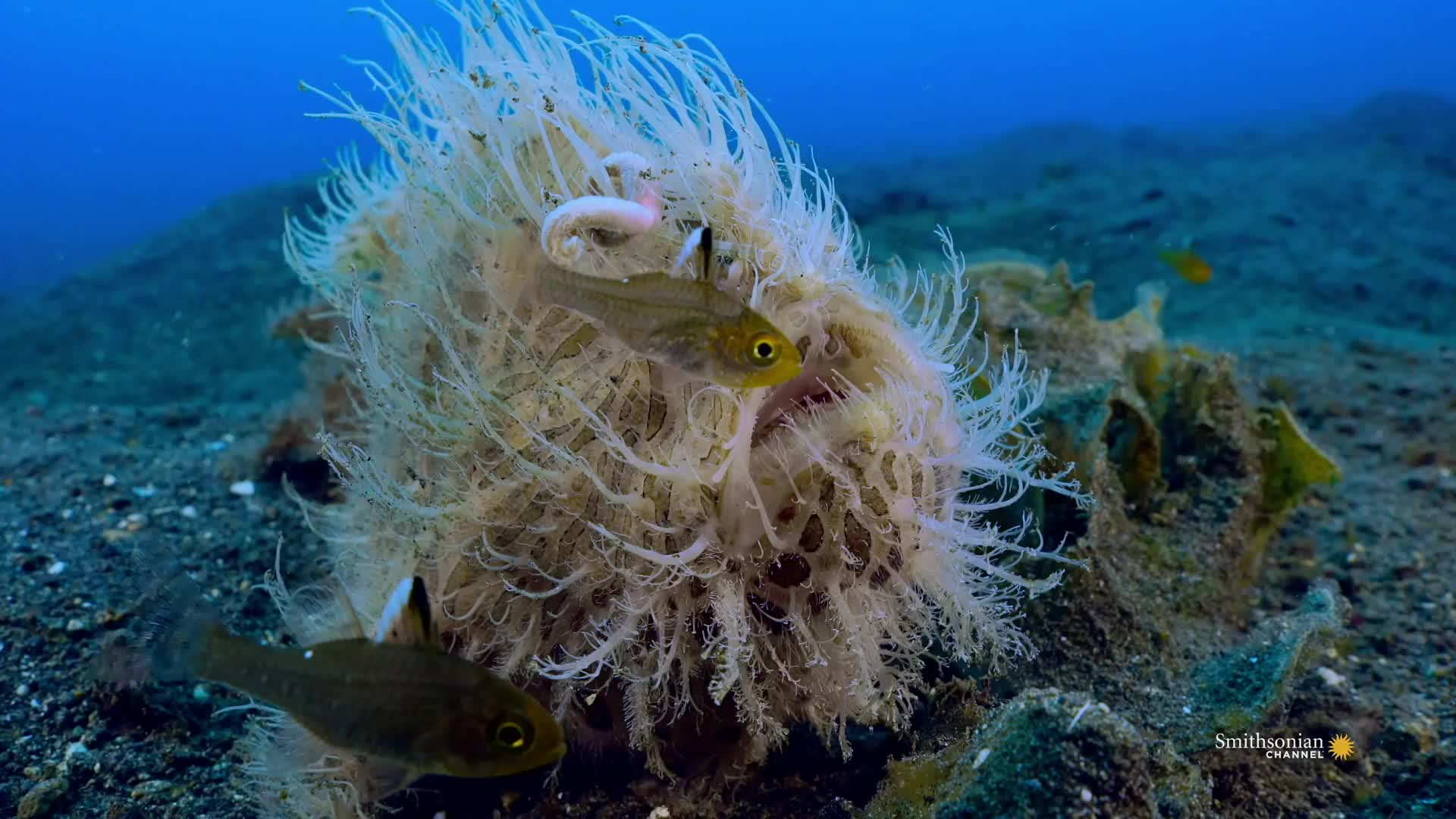 cool, fish, frogfish, funny, hairy frogfish, interesting, nature, ocean, science, sea, slow-motion, The fastest bite in the animal kingdom, The Hairy Frogfish GIFs