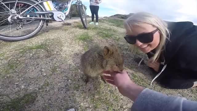 Watch and share Cette Île D'Australie Est La Maison Du Quokka GIFs by likkaon on Gfycat