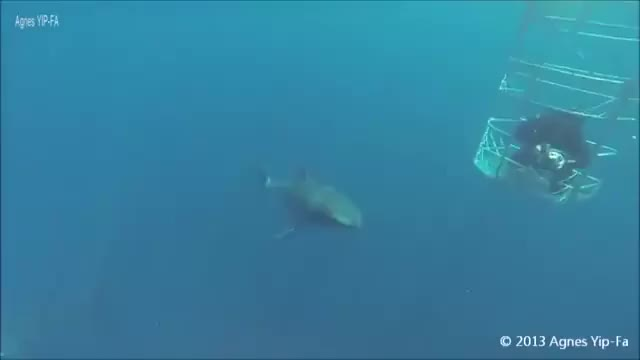 Watch Sharks GIF on Gfycat. Discover more Shark, nature GIFs on Gfycat