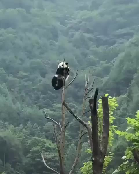 Watch and share Panda GIFs by tothetenthpower on Gfycat