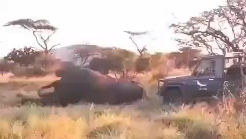 Wildlife veterinarian helping an African bull elephant get to their feet after they struggled to rise at the end of a 4 hour long operation GIFs