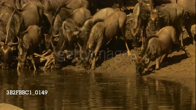 Watch and share Nile Crocodile Drags A Wildebeest Into The Water GIFs by Pardusco on Gfycat