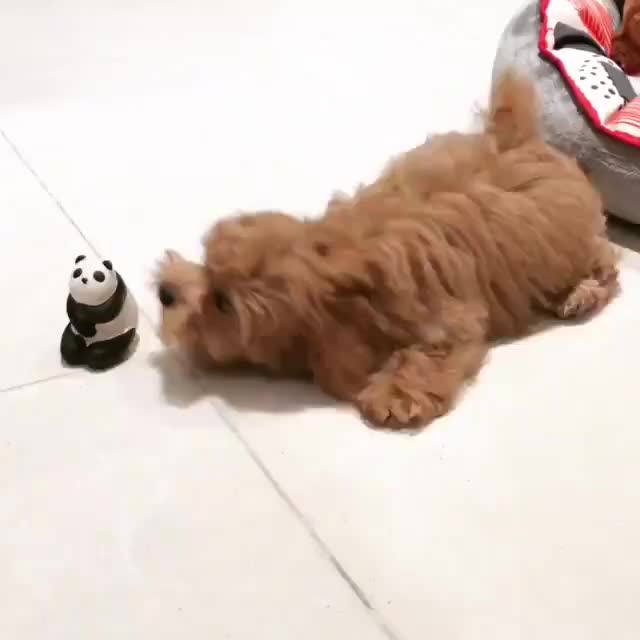Watch and share Source: Minee_the_maltipoo On Instagram GIFs by Nomorefoxgiven on Gfycat