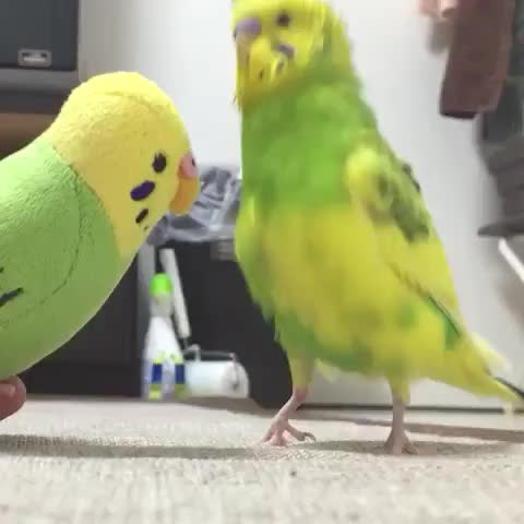 The meeting of the birbs GIFs