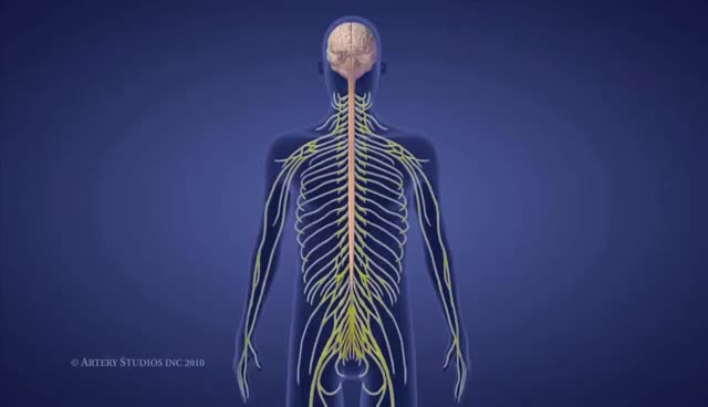 Watch and share The Spine And Spinal Cord GIFs on Gfycat