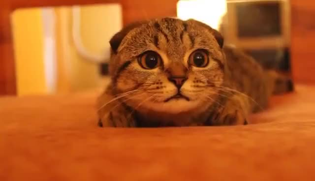 Watch and share Scottish Fold Kitten On The Prowl (Suzie, The Bomb Cat) GIFs on Gfycat