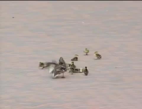 ducks, wind, Ducks GIFs