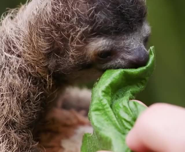 Watch this trending GIF by The GIF Forge (@leahstark) on Gfycat. Discover more adorable, cute, eating, nom nom, sloth GIFs on Gfycat