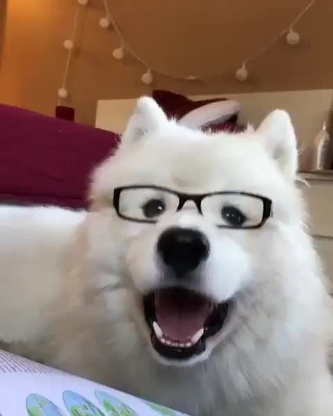 Samoyed Stories 🐾, dog, heckskool, Dallas: H*ck, why should I do myself an educate when I can monch treatos all day instead? 😤. Anyway, do I look smarter with my glasses? 🐾 GIFs
