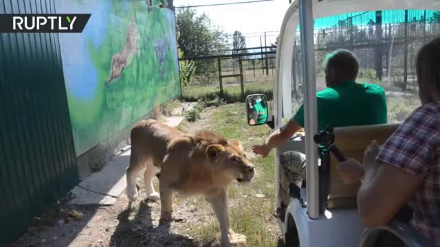 Watch Lion jumps into open vehicle full of tourists on safari tour GIF by Ghositdown (@shawnblack) on Gfycat. Discover more RT, Russia Today, crimea, crimea safari tour, funny, funny video, lion, raw video, safari, safari tour GIFs on Gfycat