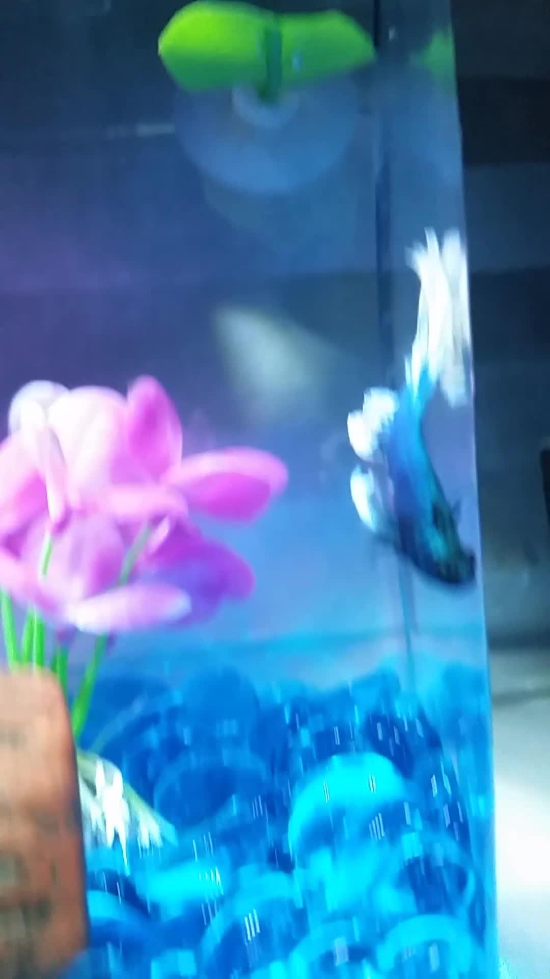 bettafish, Curious Wasabi GIFs