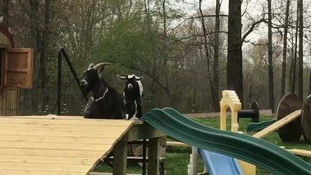 Watch and share Crazy Kid At Goats Gone Grazing GIFs by b12ftw on Gfycat