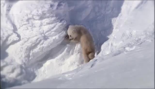 animals, bears, nature, polar bears GIFs