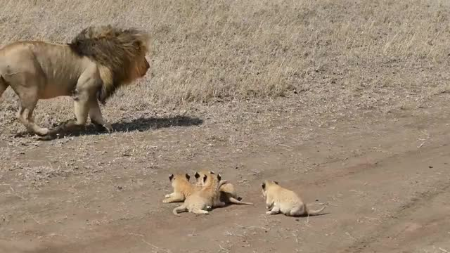 Watch and share Lion Trying To Ditch His Cubs GIFs by Pardusco on Gfycat