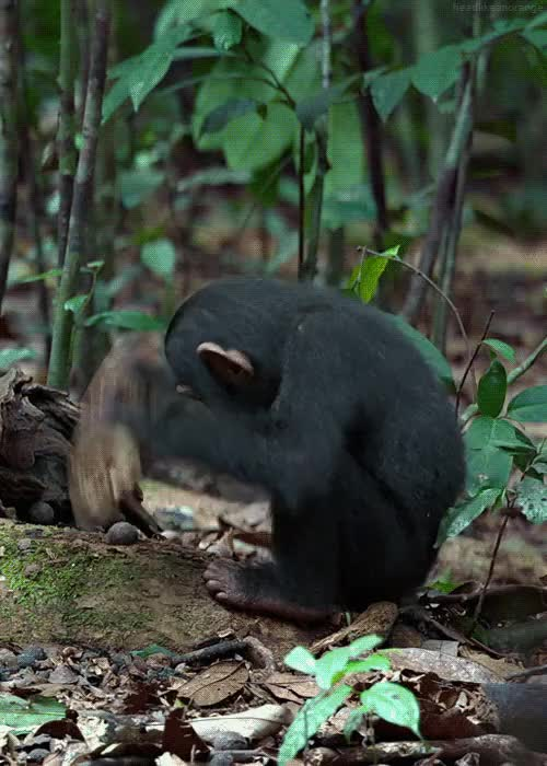 Watch and share Nature Gifs Chimp GIFs on Gfycat