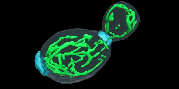 Watch and share 3D Structure Of Living Yeast GIFs on Gfycat