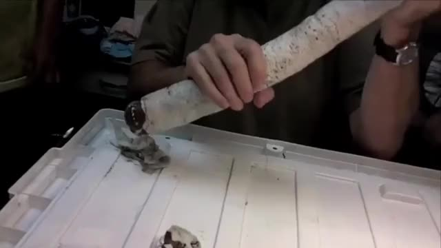 Watch and share Living Giant Shipworm Found For The First Time In Philippines GIFs on Gfycat