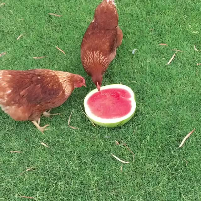 Watch and share Chickens GIFs and Cute GIFs by cakejerry on Gfycat