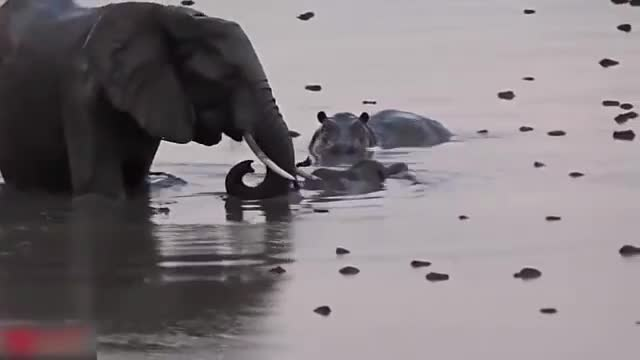 Animals Save animals, Elephant Defends Her Baby From Two Hippo, Elephant Hunting Hippo, Elephant vs Hippo, Elephant vsHippo, Elephants rescue Elephants from Animal Attack, Hippo attack elephant, elephant attack Hippo, elephant save animals, Mother Elephant Defends Her Baby From Two Hippo | Elephants rescue Elephants from Animal Attack GIFs
