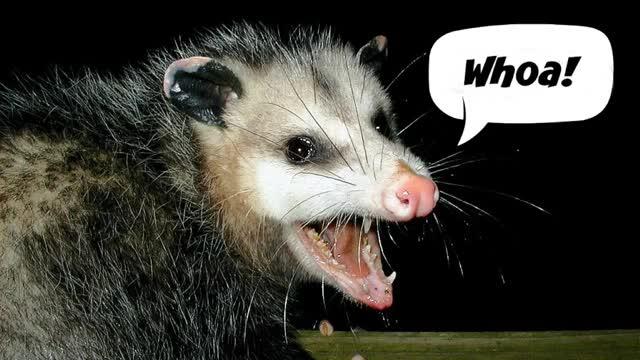 Watch and share Possum GIFs and Phish GIFs by deepfriedpanda on Gfycat