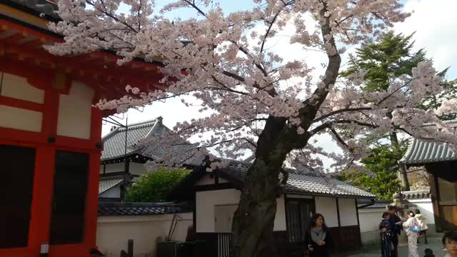 Watch Sakura GIF by @taytec on Gfycat. Discover more related GIFs on Gfycat