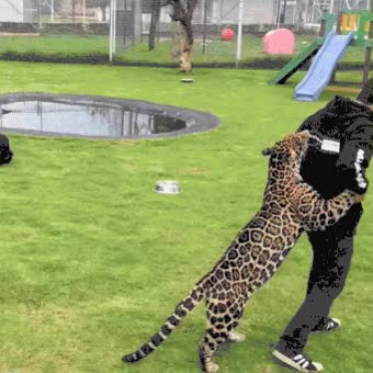 Watch and share Jaguar GIFs on Gfycat