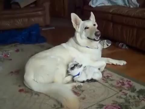 Watch and share German Shephard Caring For A Baby Goat GIFs on Gfycat
