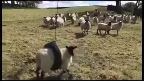Watch and share Sheep Swing GIFs by Boojibs on Gfycat