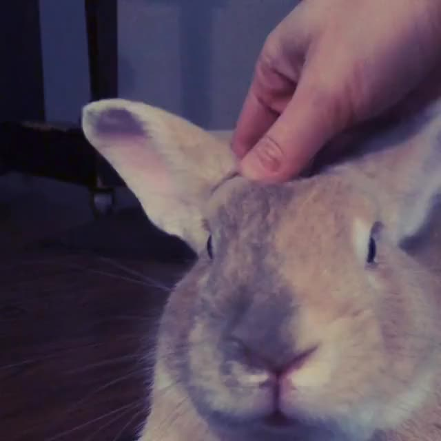Watch Face Pets GIF by @stellarstaer on Gfycat. Discover more rabbits GIFs on Gfycat