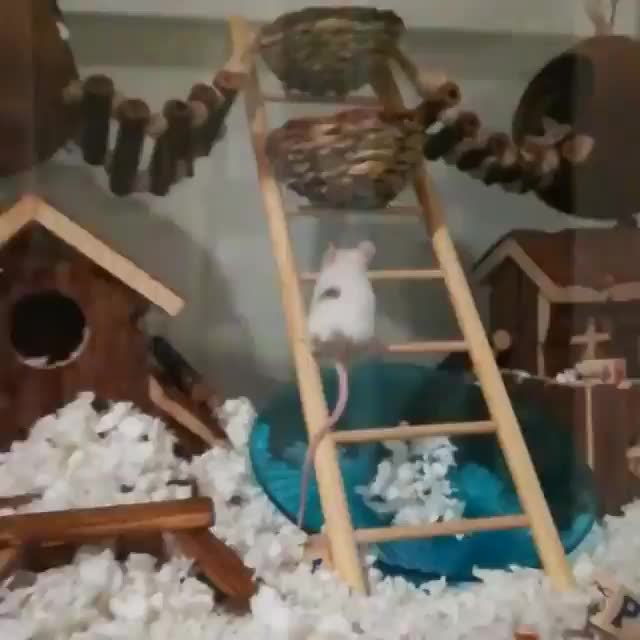 r/MouseGifs - video by happylittlezoo GIFs