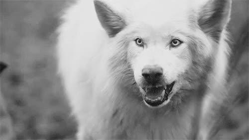Watch and share Horror Lobo Wolfman Wolf Gif Lobisomem Renato Wolliver << ;D GIFs on Gfycat