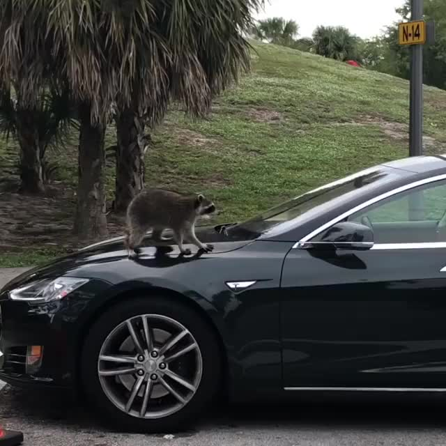 Watch and share Raccoon GIFs and Tesla GIFs on Gfycat