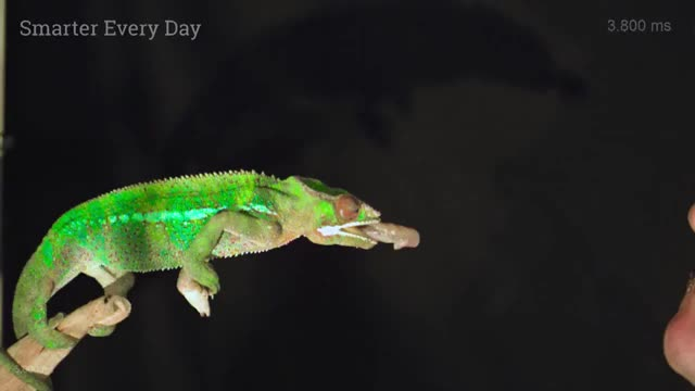 Watch and share A Chameleon Tongue Crushing Crickets In Slow Motion (20,000 Fps) - Smarter Every Day 180 00 01 25-00 01 52 GIFs by dhruveishp on Gfycat