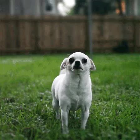 Watch and share Why Do Chihuahuas Shake? The Case Of The Shivering Chihuahua GIFs on Gfycat