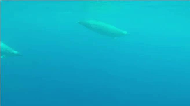 animalgifs, naturegifs, whales, Beaked Whales GIFs