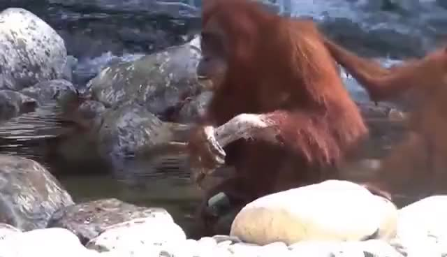 Watch Orangutan is washing hands with soap GIF on Gfycat. Discover more related GIFs on Gfycat