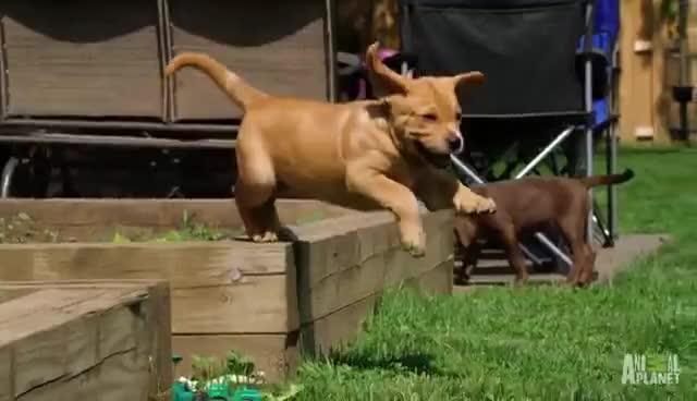 lab, puppy, lab puppy GIFs