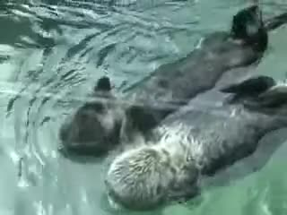 cute, otters, Otters holding hands GIFs