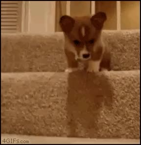 Watch corgi GIF on Gfycat. Discover more related GIFs on Gfycat