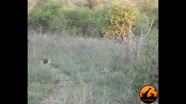 Watch and share Leopard Catches A Guineafowl GIFs by Pardusco on Gfycat