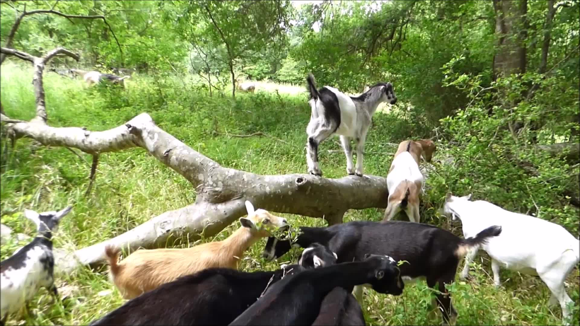 aww, goat, goatparkour, goats, knsfarm, Slippery Log Parkour GIFs