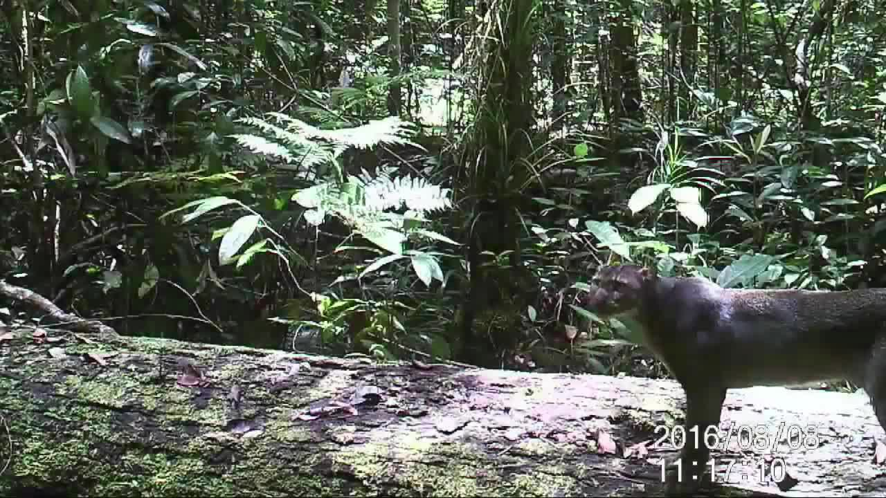 Rare bornean bay cat finally caught on camera GIFs