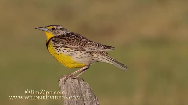 Watch and share Western Meadowlark GIFs and Connecticut GIFs on Gfycat