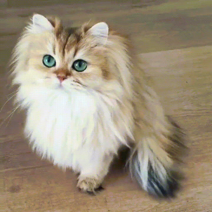 Maine Coon, cat, cute, Cute Majestic Maine Coon Cat GIFs