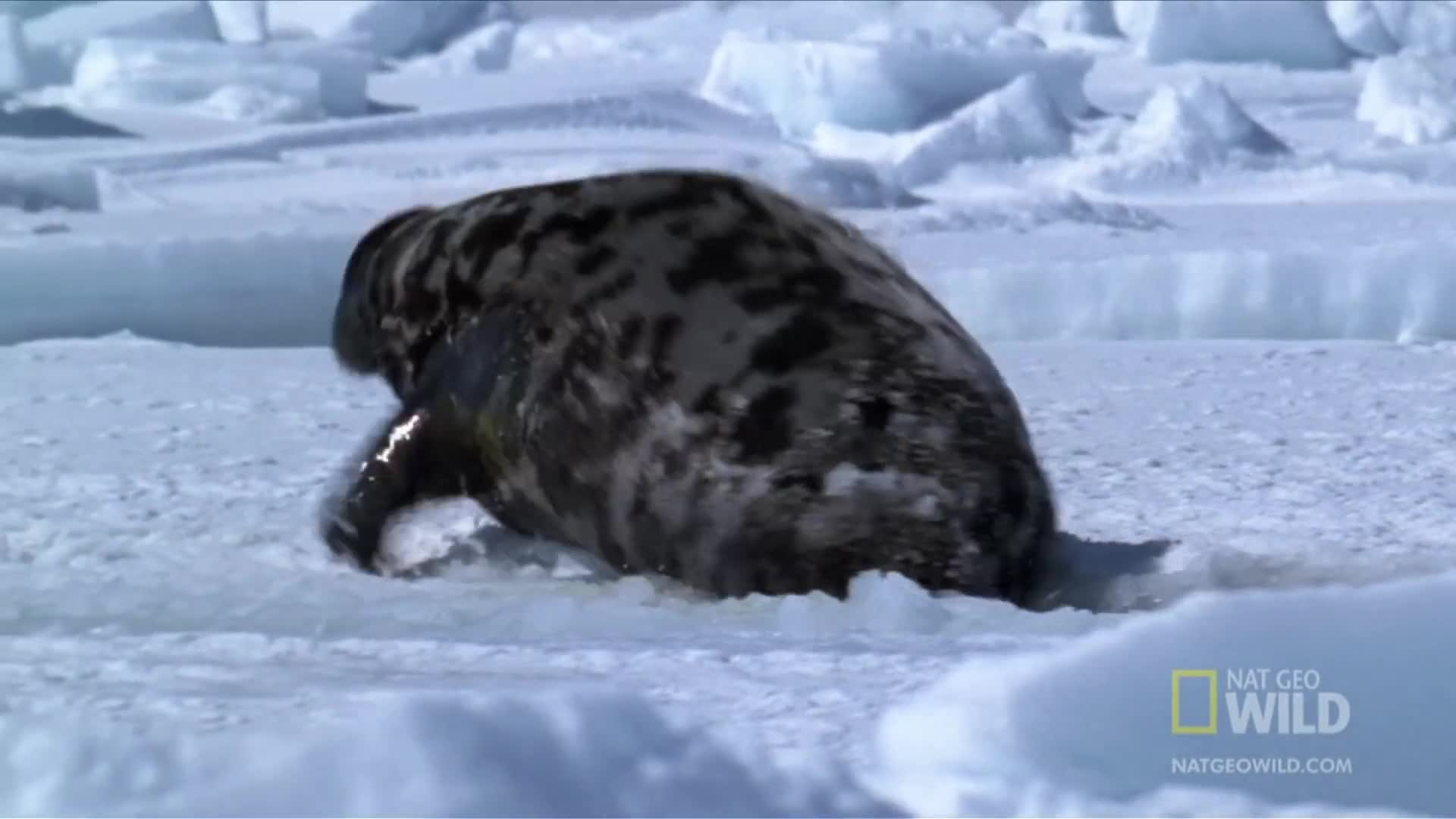 Hooded Seal | World's Weirdest GIFs