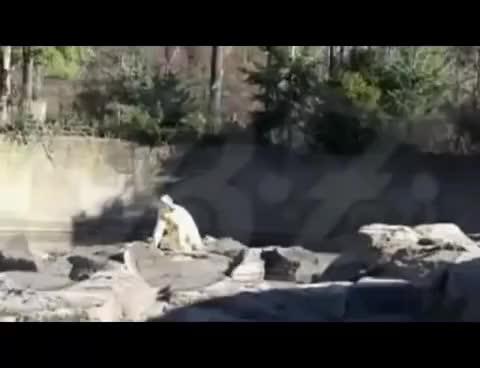 Knut geht baden