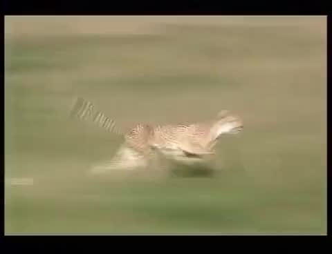 Watch and share 110km/h Cheetah Attack Gazelle GIFs on Gfycat