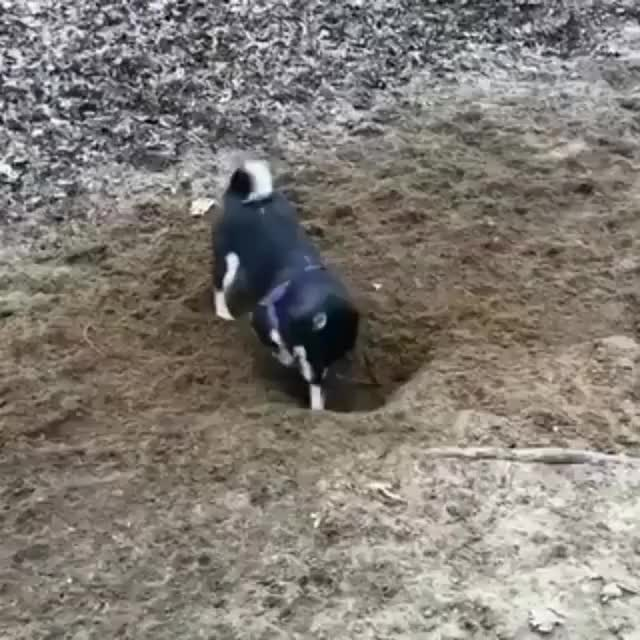 Watch and share Doggo Attempts To Dig A Hole GIFs on Gfycat