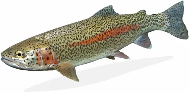 Watch and share Alaskan Rainbow Trout GIFs on Gfycat