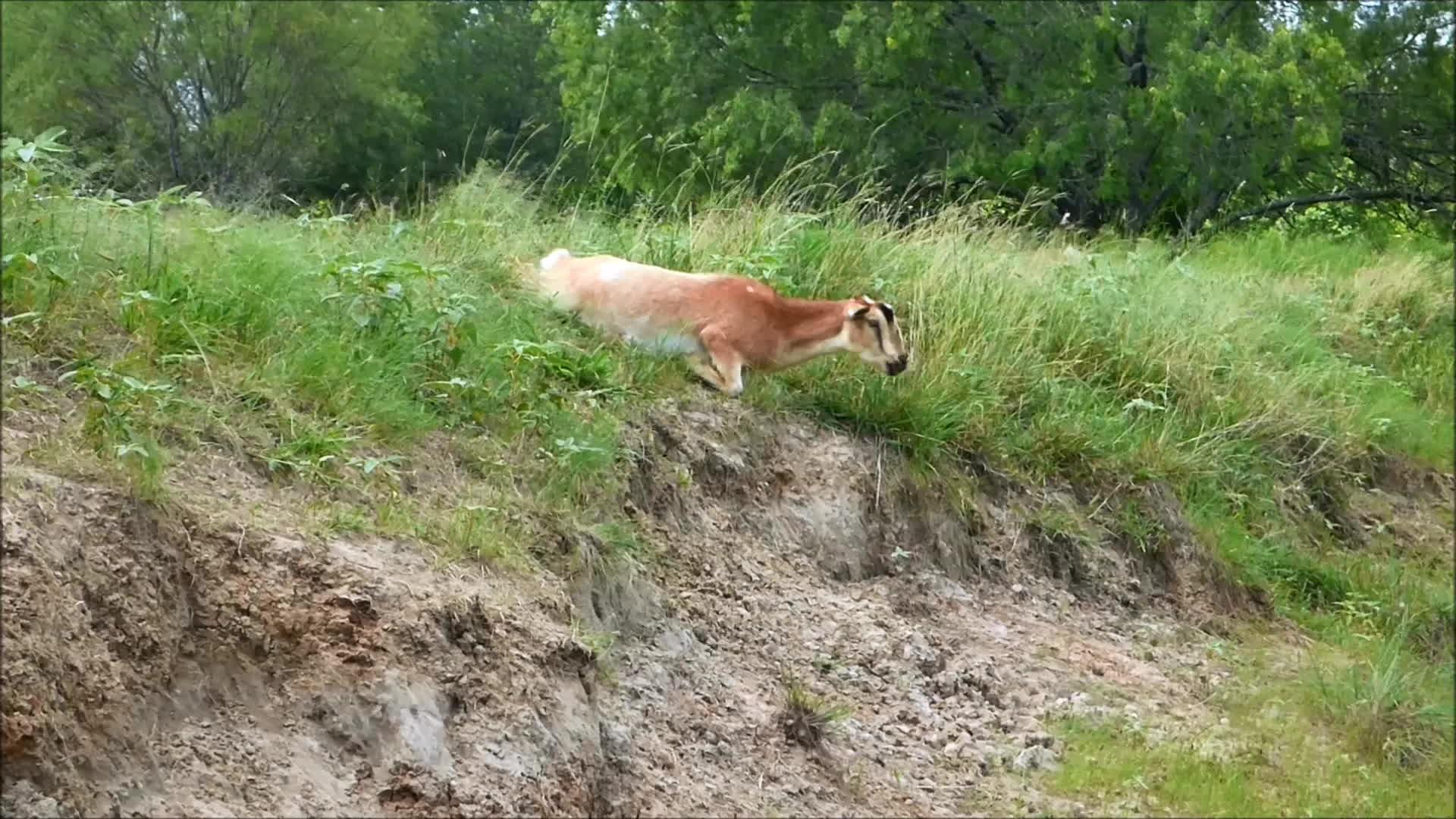Goatparkour, freecompliments, goats, knsfarm, Goat Rolls Down Hill GIFs